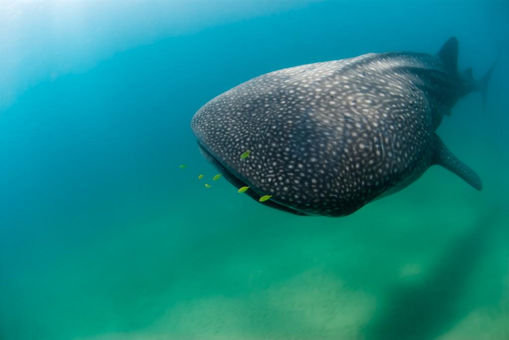 Whale-Sharks-SC-38-1024x685.jpg