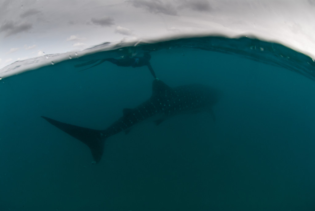Whale-Sharks-SC-445-1024x685.jpg