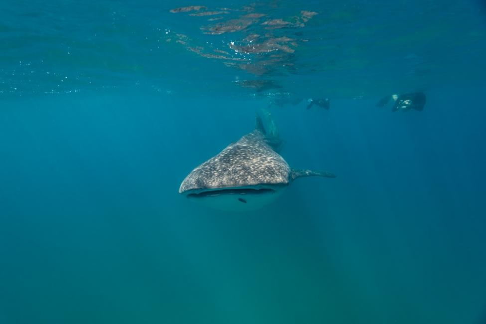 small whale shark March 2019 Sodwana 1