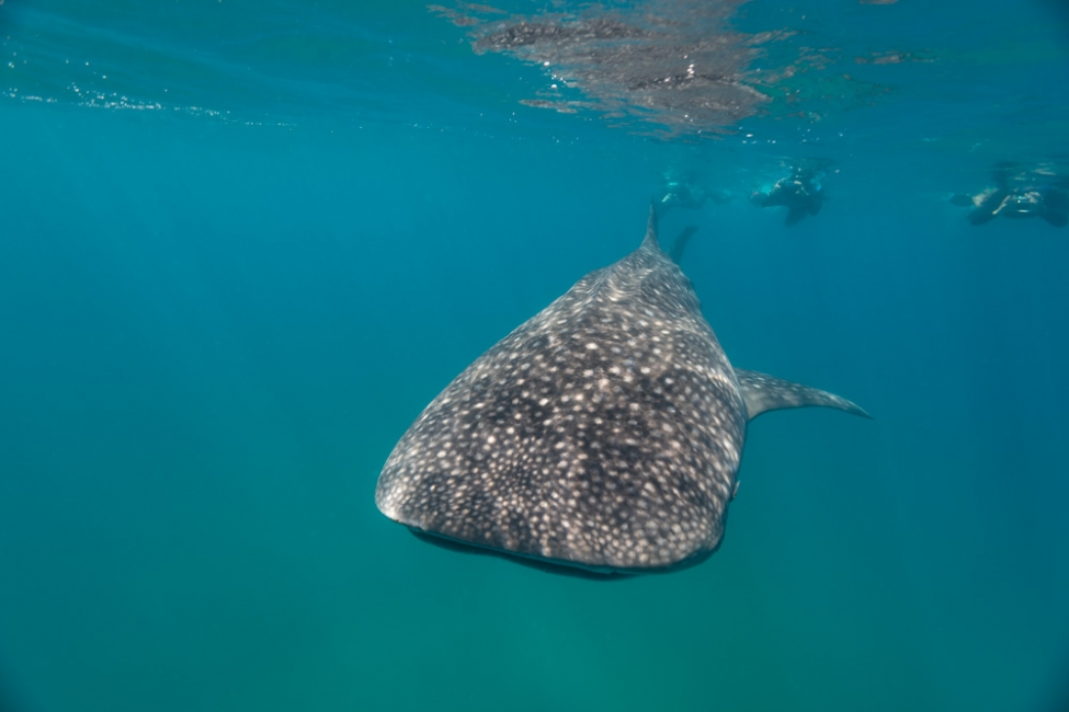 small whale shark March 2019 Sodwana 2