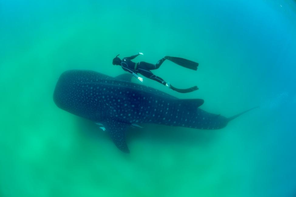 Savannah and the whale shark 1