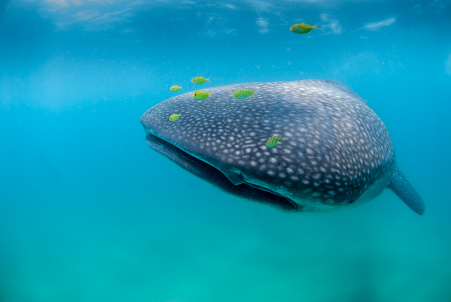 whale shark with yellow pilot fish in Sodwana Bay