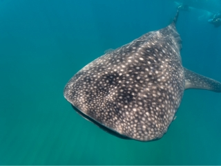 small whale shark March 2019 Sodwana 3