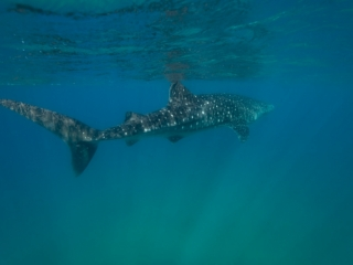small whale shark March 2019 Sodwana 4