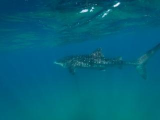 small whale shark March 2019 Sodwana 5