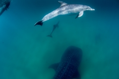 whale shark and dolphins play