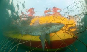 Shark Nets